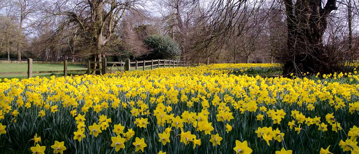 Daffodils at Hartwell House
